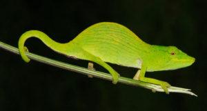 tarzan-chameleon
